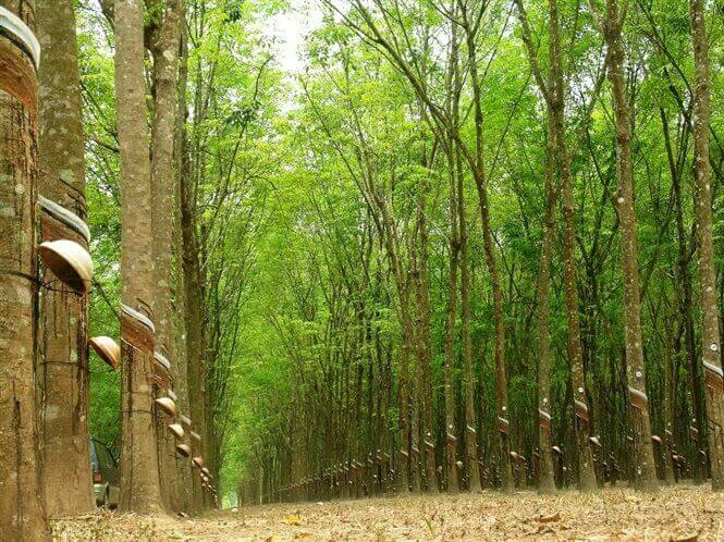 Chứng nhận FSC – Nút thắt cho xuất khẩu sản phẩm gỗ cao su sang Châu Âu